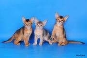 Абиссинсике котята из питомника Мирабелла Кэт