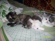 Продаю персидских котят от элитных родителей.